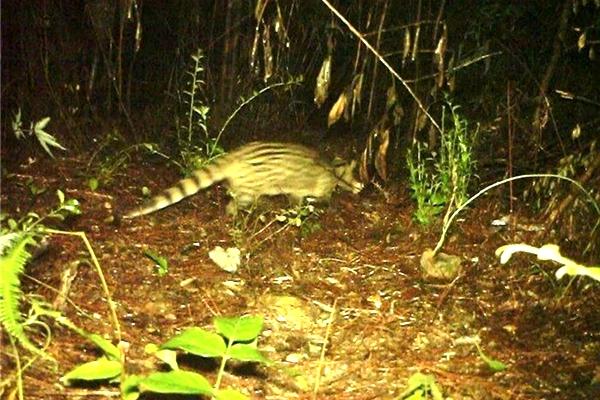 红外相机捕捉到的小灵猫影像。 图源:乌岩岭自然保护区管理中心
